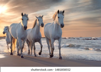 Herd of white horses running through the water. Image taken in Camargue, France.