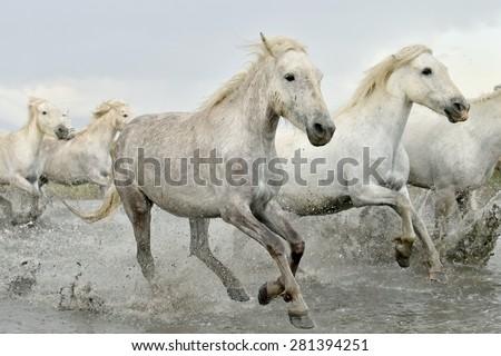 Herd White Horses Running Through Water Stockfoto Jetzt Bearbeiten