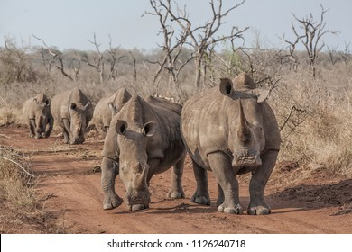 herd of white rhinos on a dirt road, Hlane National Park, Swaziland, Africa