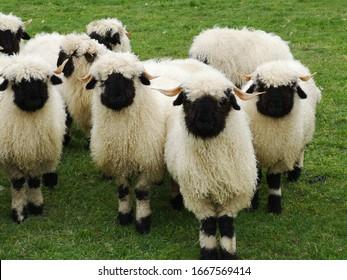 A herd of white sheep with a black beak, nose and ears. Walliser Schwarznase, Black nose sheep.