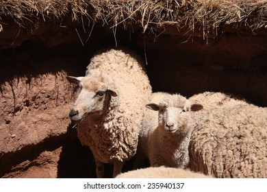 Herd of white sheep in a clay paddock, South America