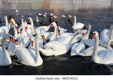 herd of white swans swimming on the river in winter.