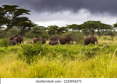 Herd of wild African elephants walking in the bush in evening with dark storm clouds, at Serengeti National Park in Tanzania, East Africa