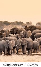 Herd of wild African elephants at the waterhole