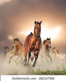 Herd of wild bay horses running in dust in sunset