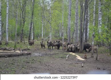 Herd of wild boars.