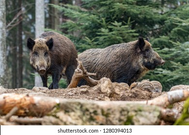A herd of wild boars looking for food in the forest.