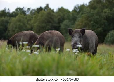 Herd of wild boars. Wild pigs.
