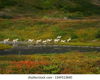 Herd of wild Dall sheep running across the colorful fall tundra in the chugach mountains near Anchorage, Alaska