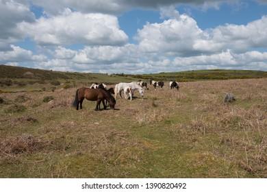 Herd of Wild Dartmoor Ponies Grazing on Moorland by Brat Tor within Dartmoor National Park in Rural Devon, England, UK