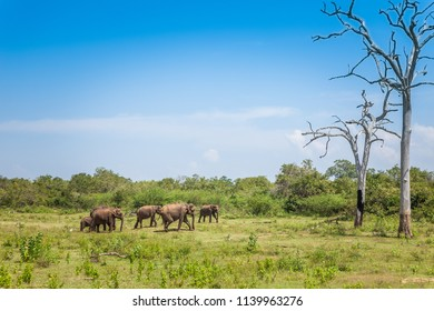 A herd of wild elephants eating grass against a dried tree.