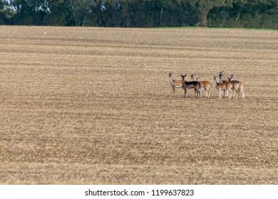 Herd of wild fallow deer (dama dama) standing towards the camera on agriculture field