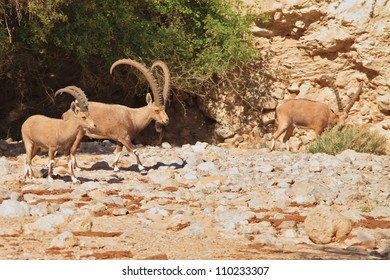 A herd of wild goats, with huge horns grazing in the mountains