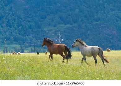 a herd of wild horses grazing in the altay mountains