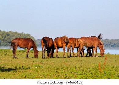 A herd of wild horses is grazing near the lake on an island in Danube Biosphere Reserve