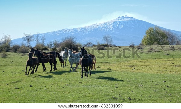 herd of wild horses in the pasture of Nebrodi Park, on background Etna Mount - Sicily