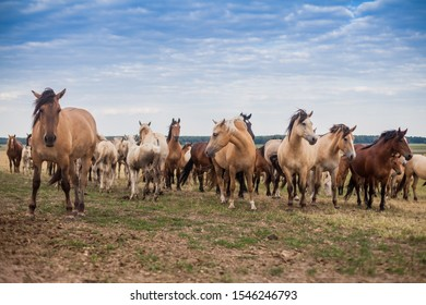 A herd of wild horses run across the field.