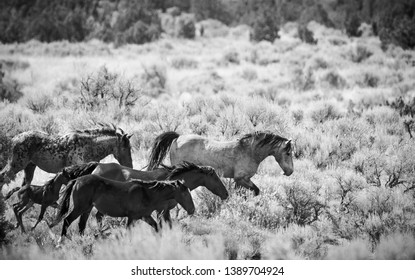 A herd of wild horses running through the vast Utah desert in the western United States with a foal