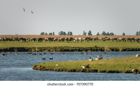 A herd of wild Konik ponies grazes in the grasslands of Oostvaardersplassen nature reserve in Lelystad, North Holland, the Netherlands. Foreground includes geese and water.