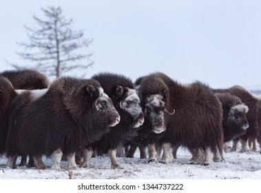 Herd of wild muskox stood in the defensive position. Winter landscape of Yamal peninsula, Arctic tundra.