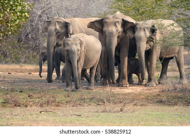 Herd of wild Sri Lankan elephant, Elephas maximus maximus  coming from  dense bush in background. Yala National park, Sri Lanka.