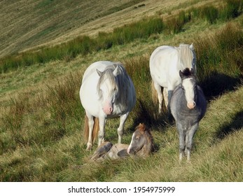 A herd of wild welsh ponies with a young foal on Pen y Fan, the highest mountain in southern Britain in the Brecon Beacons National Park, Wales, UK