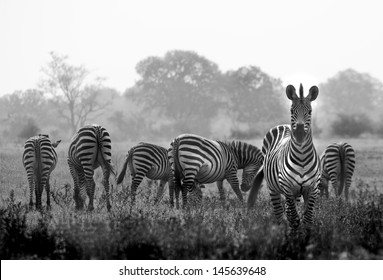 Herd of wild zebras in a African flood plain