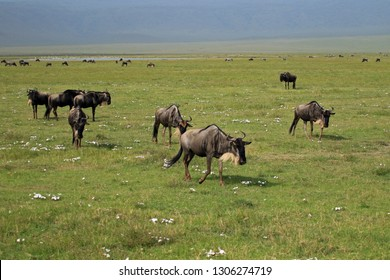 Herd of wildebeest, Ngorongoro Conservation Area, Tanzania