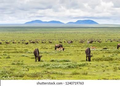 Herd of Wildebeest Zebra Gazelle antelope migration in Serengeti Plains at Serengeti National Park in Tanzania, East Africa
