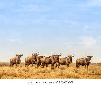 Herd of Wilderbeest