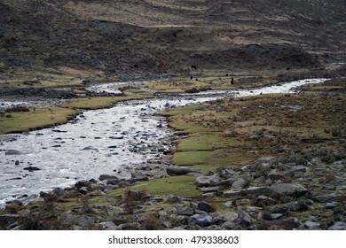 herd of yaks in tibetan river