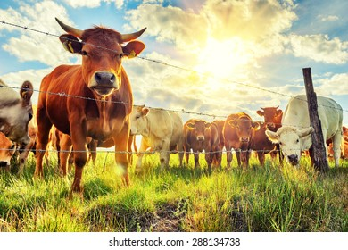 Herd of young calves looking at camera at summer sunset