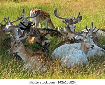 Herd of young Fallow Deer Bucks (Dama Dama) with velvet antlers lying down in shade, Bradgate Park, Leicestershire, England, UK