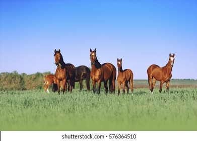 A herd of young horses are beautiful on a sunny meadow with tall grass. Horses grazing on a neutral background scenery
