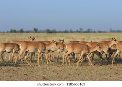Herd of young saigas walk together in a field