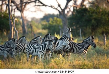 Herd of Zebra in the Savuti Reserve in Botswana