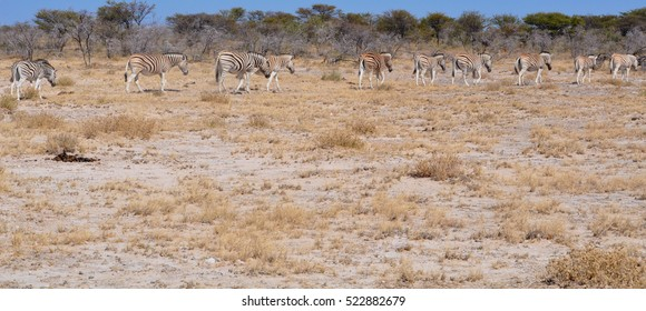A herd of Zebra walking through the plains in Namibia Africa