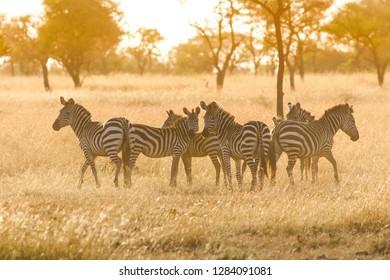 Herd of zebras at african savannah in misty sunrise light