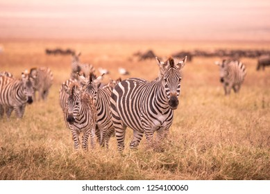Herd of zebras in african savannah. Zebra with pattern of black and white stripes. Wildlife scene from nature in Africa. Safari in National Park Ngorongoro Crater, Tanzania.