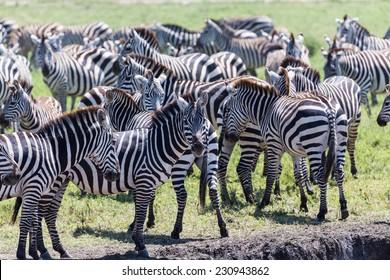 A herd of zebras, Central Serengeti, Tanzania