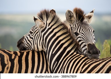 Herd of zebras to grant private reserve pastures gondwana south africa