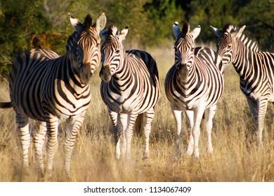 Herd of zebras in Grasslands
