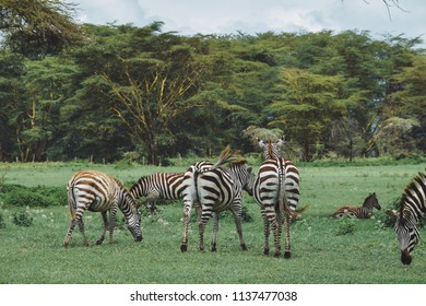 A herd of Zebras grazing at Crater Lake Game Sanctuary, Naivasha, The Great Rift Valley, Kenya
