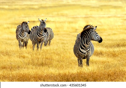 herd of zebra's grazing on grassland in Africa