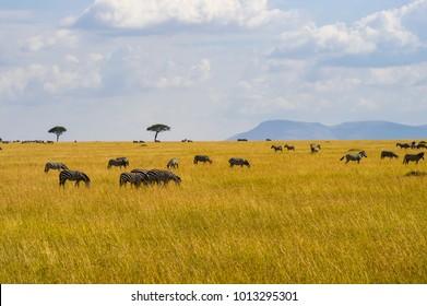 Herd of zebras grazing in the savannah plain of Maasai Mara Park in northwestern Kenya