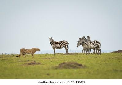 A herd of zebras keep a close eye on a cheetah walking through a savannah in Masai Mara Game Reserve, Kenya