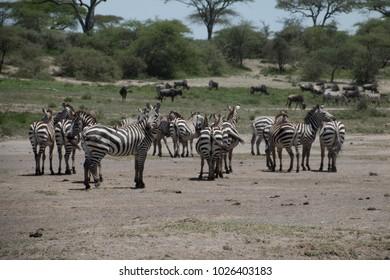 A herd of zebras in Ndutu plains in Ngorongoro Tanzania