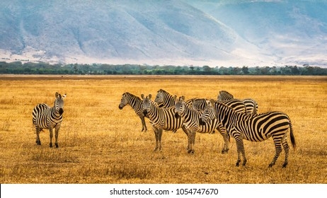 Herd of zebras in the Ngorongoro Crater, Tanzania.