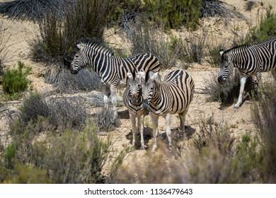 a herd of zebras walking through the landscape