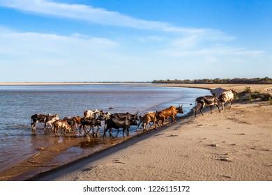 Herd of zebus crossing the river Mangoky in Southwestern Madagascar